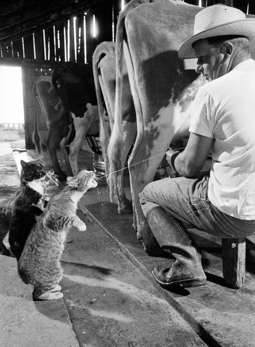 Выпрашивая молока на молочной ферме Arch Badertscher 15 октября 1954